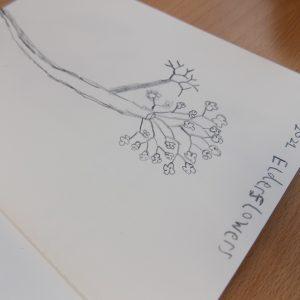 pencil drawing of elderflowers