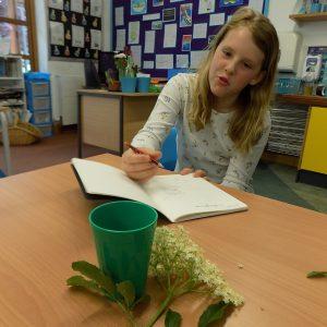 child studying elderflower